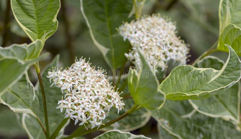在庭院长辈、接骨木浆果、黑长辈、欧洲长辈、欧洲接骨木浆果和欧洲黑色的开花的elderflower 库存照片