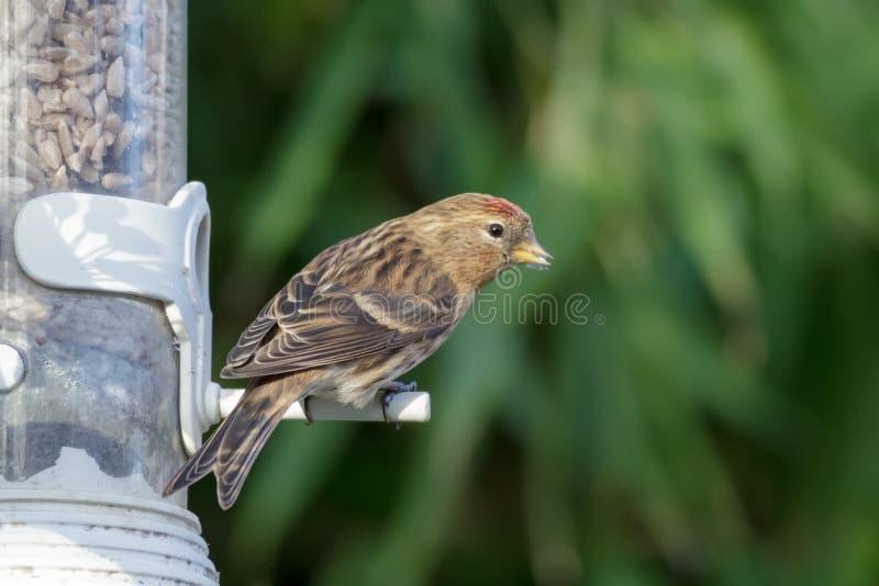 在庭院饲养者的一点红弱鸟 库存图片