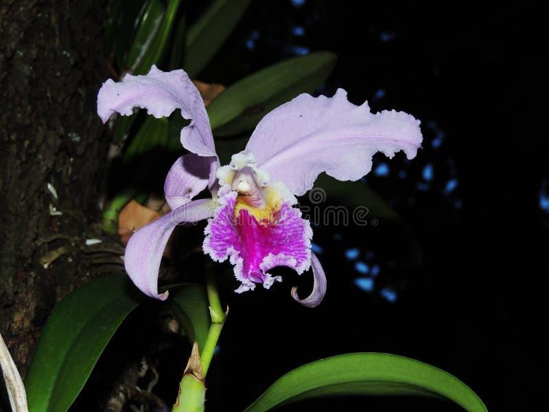 在庭院amazonic花的Orquidea 图库摄影