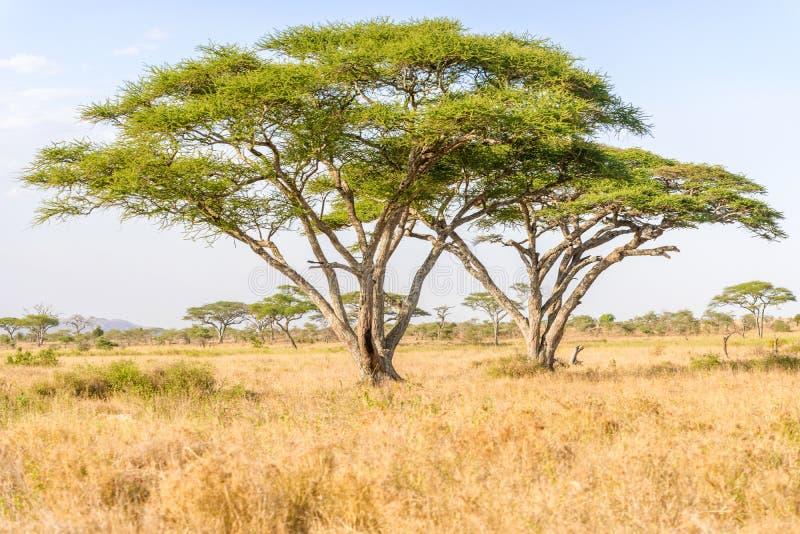 在开放非洲大草原的金合欢树 免版税库存照片