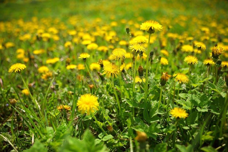 在开花在公园的草的黄色蒲公英 免版税库存照片
