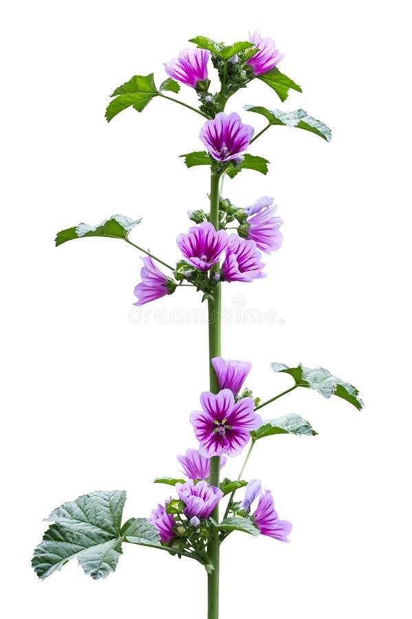 在开花期间的野生冬葵植物 免版税库存图片