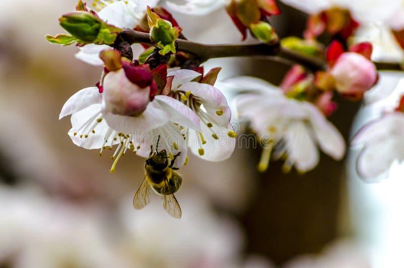在开花杏树的蜂蜜蜂 库存照片