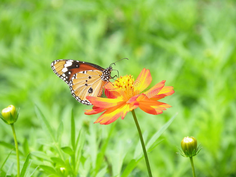 在开花波斯菊花的美丽的蝴蝶 库存图片