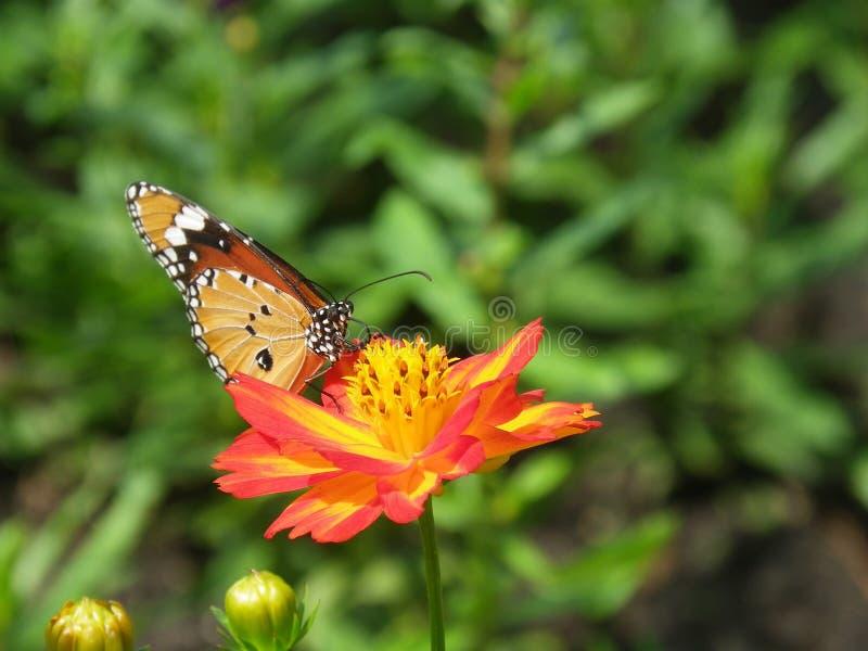 在开花波斯菊花的美丽的蝴蝶 图库摄影