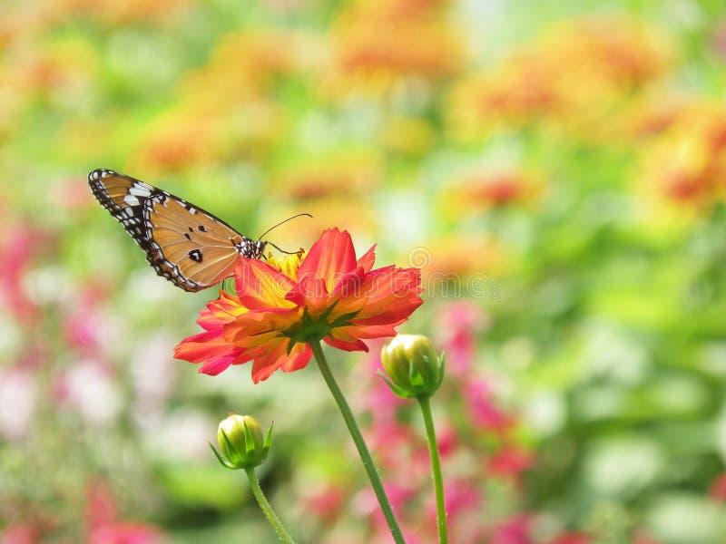 在开花波斯菊花的美丽的蝴蝶 免版税图库摄影