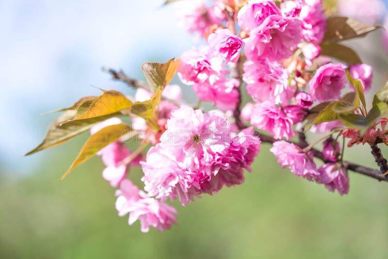 在开花的佐仓树在天空蔚蓝 开花在春天的樱桃花 佐仓开花的季节概念 自然,秀丽,environme 免版税库存照片