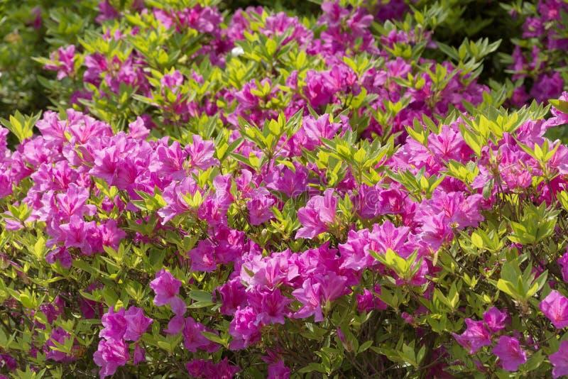 在开花的和开花的杜鹃花花丰盈的看法在一个寺庙庭院里在京都日本 图库摄影