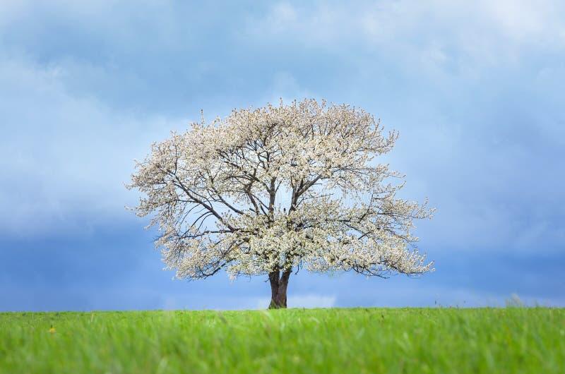 在开花的春天樱桃树在绿色草甸在蓝天下 贴墙纸在与空间的软,中立颜色您的 免版税库存图片