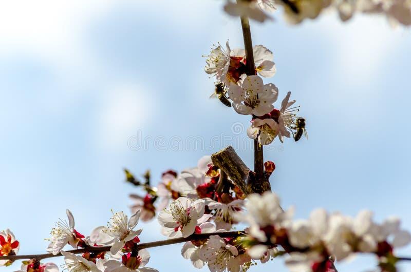 在开花的杏树花的蜂 免版税库存照片