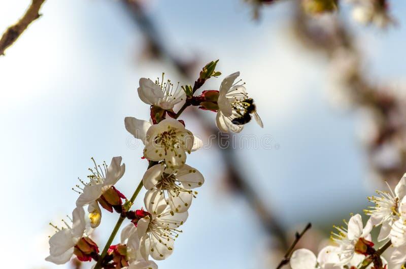 在开花的杏树花的蜂 免版税库存图片
