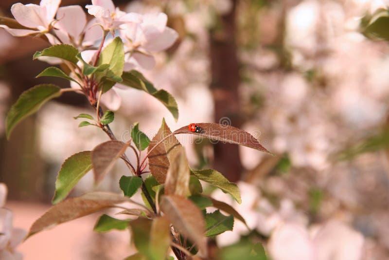 在开花的树的叶子的瓢虫在一好日子 免版税图库摄影