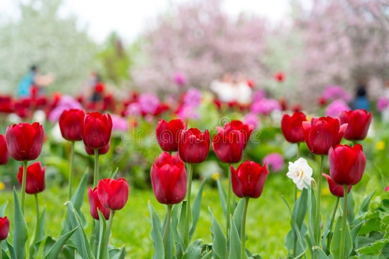 在开花的桃红色苹果树的红色郁金香 免版税库存图片