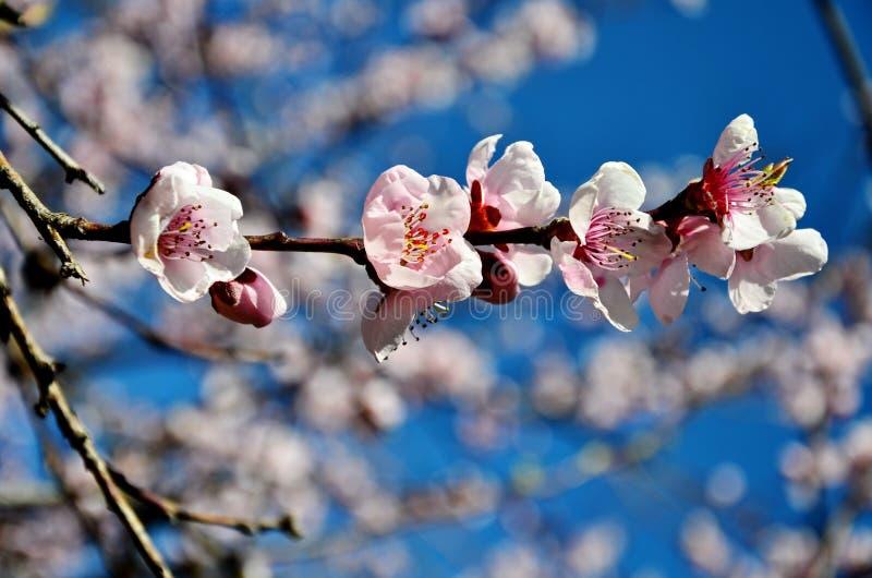 在开花的樱桃花 免版税库存图片