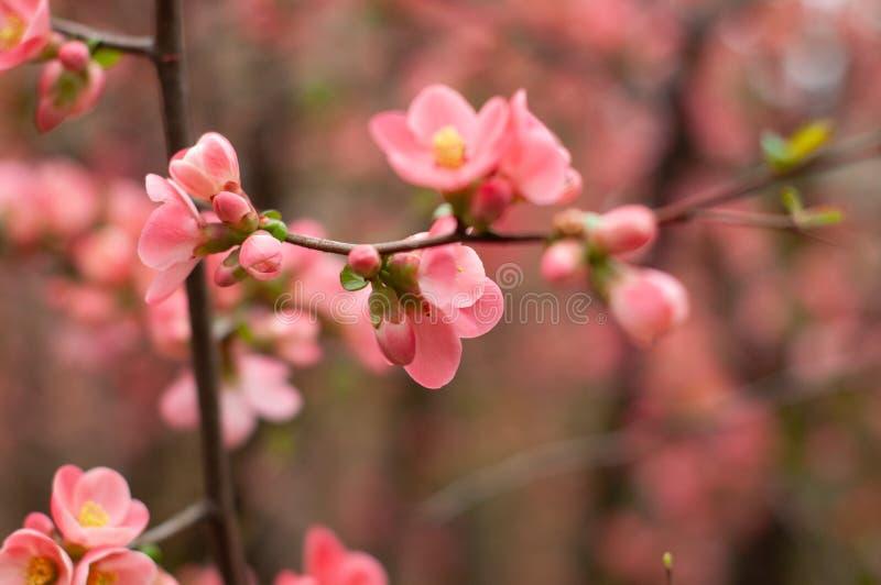 在开花的樱桃 开花的桃红色樱桃分支 花卉被弄脏的背景 特写镜头,软的选择聚焦 库存照片