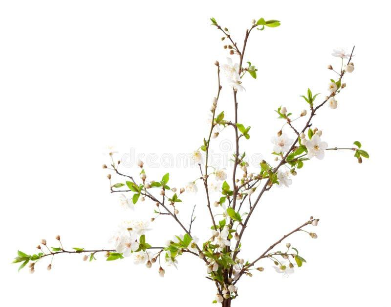 在开花的樱桃 图库摄影