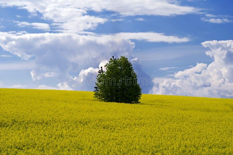 在开花的油菜中间的领域的一棵偏僻的树反对一天空蔚蓝的与云彩 免版税库存照片