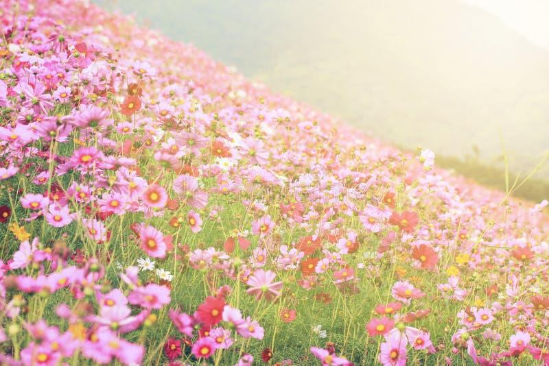 在开花的波斯菊花 库存照片