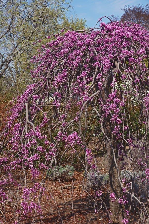 在开花的淡紫色转弯啜泣的redbud树 库存照片