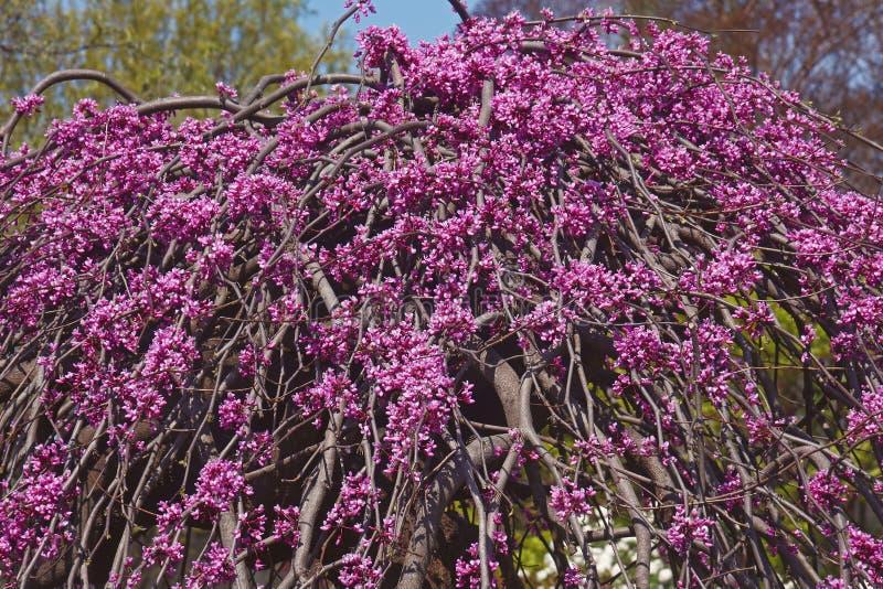 在开花的淡紫色转弯啜泣的redbud树 库存图片