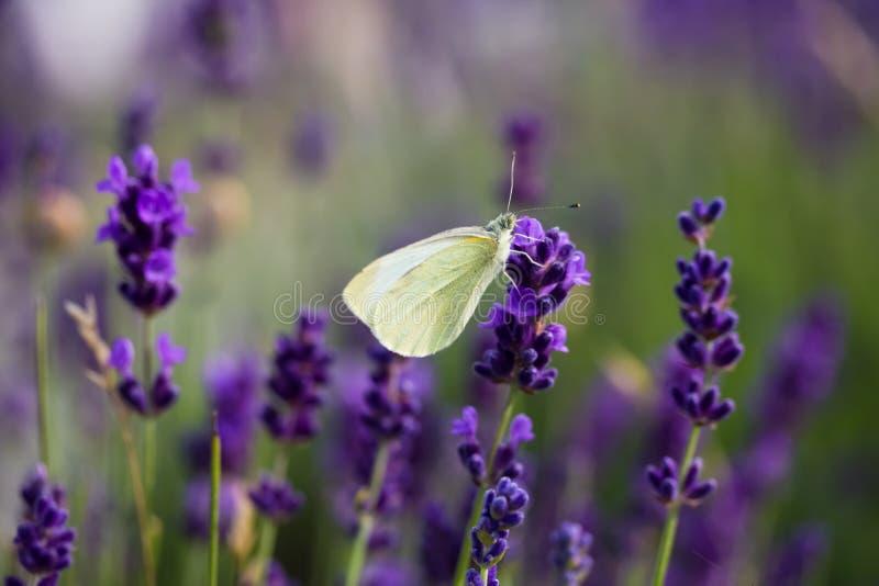 在开花的淡紫色的白色蝴蝶 免版税库存图片