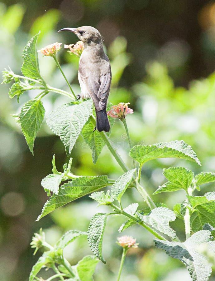 在开花的灌木的易变的sunbird 免版税库存图片