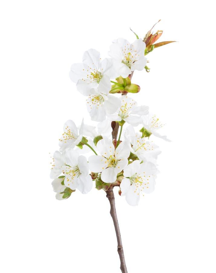 在开花的甜樱桃 库存图片
