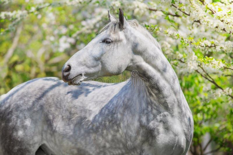 在开花的白马 免版税图库摄影