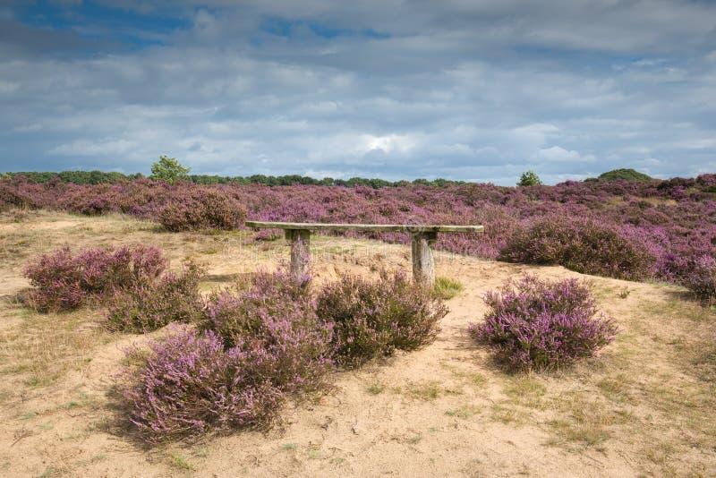 在开花的石南花的一条长凳在Hoge Veluwe 库存照片