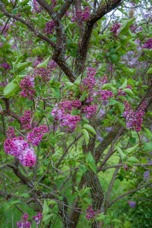 在开花的神仙的淡紫色树 图库摄影