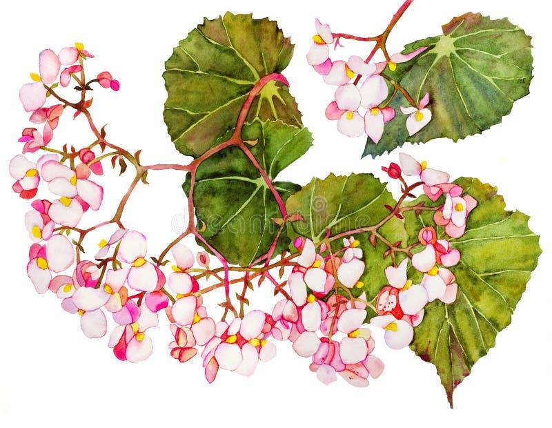 在开花的秋海棠 库存例证