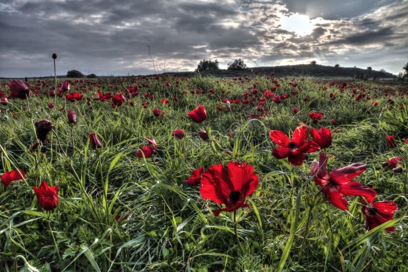 在开花的红色银莲花属Coronaria花田背景的日落  免版税库存照片