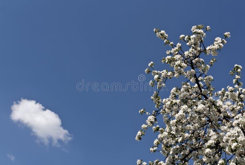 在开花的苹果树反对蓝天 图库摄影