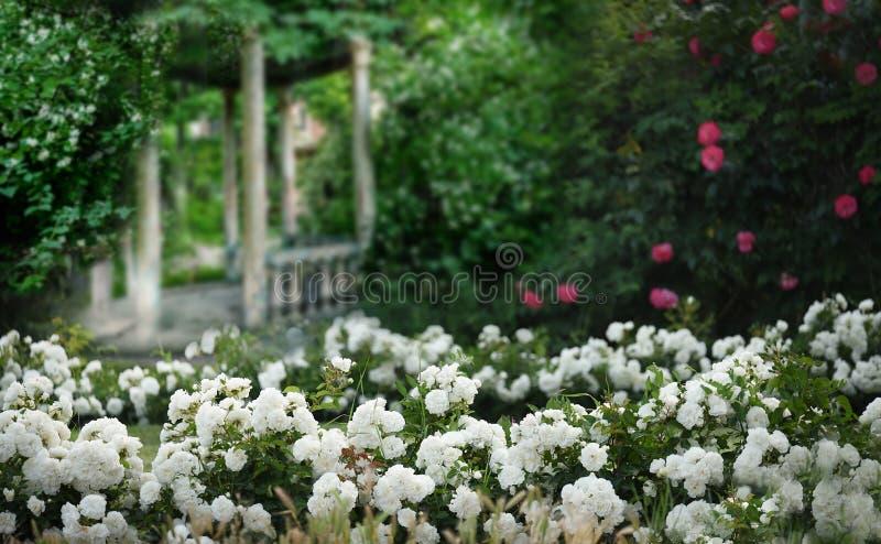 在开花的茉莉花和白玫瑰蓬松绽放丛林的老被破坏的眺望台  r 免版税图库摄影