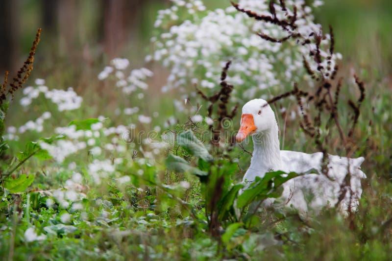 在开花的草甸的白色房子鹅 免版税库存照片