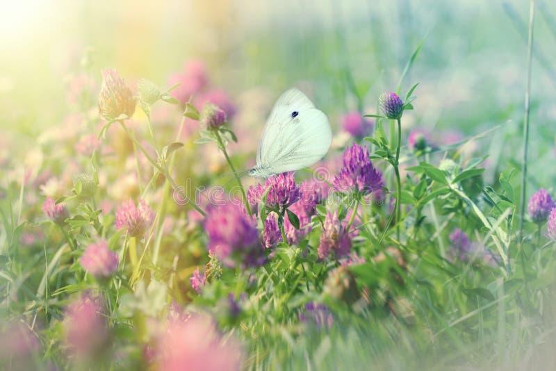 在开花的草甸的白色蝴蝶,红三叶草的 免版税图库摄影