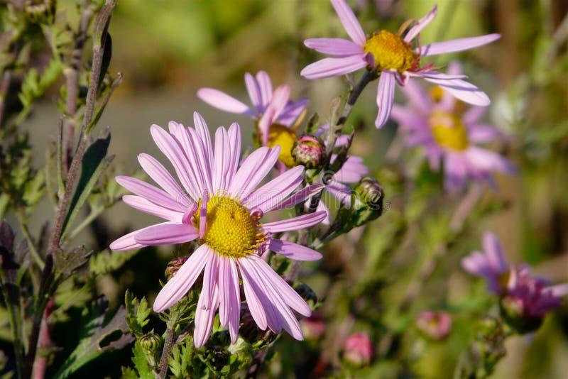 在开花的草甸背景的紫色雏菊特写镜头  库存照片