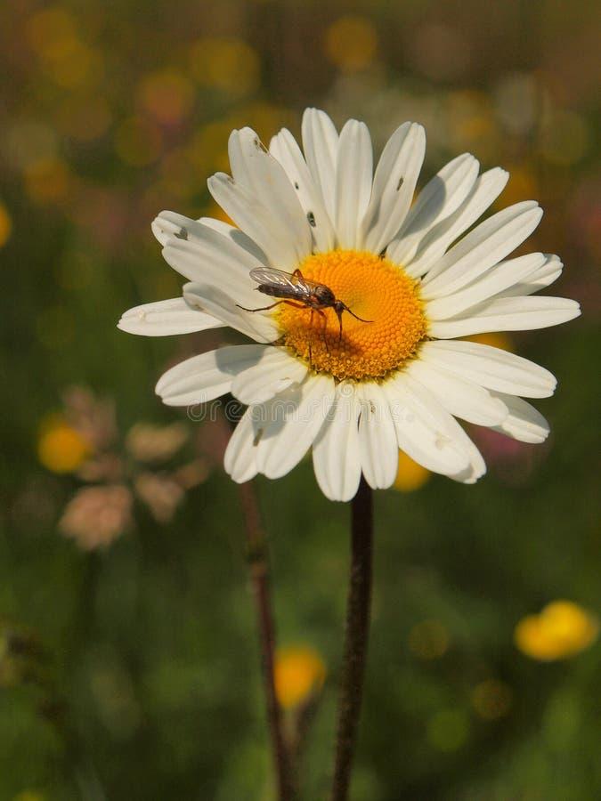在开花的草甸花 戴西花叶子,看法的关闭 免版税库存图片