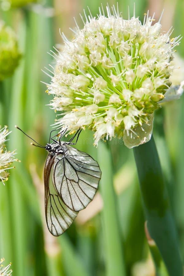 在开花的葱的蝴蝶 库存图片
