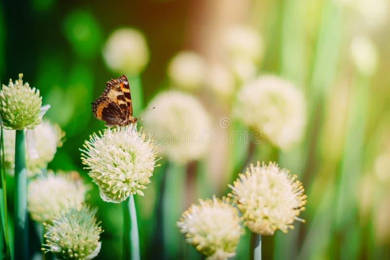 在开花的葱领域的蝴蝶 图库摄影