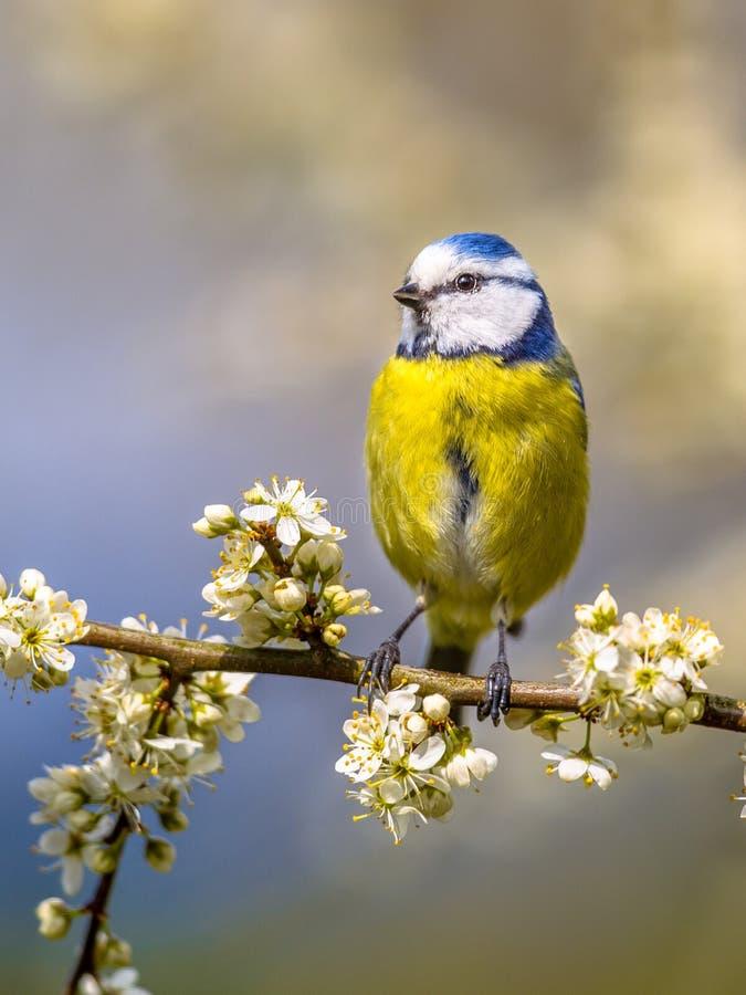 在开花的蓝冠山雀画象 免版税图库摄影
