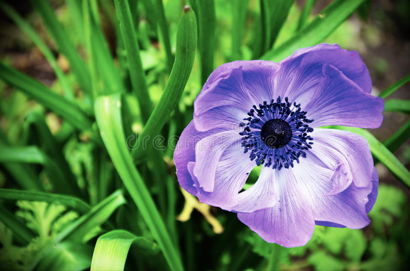 在开花的蓝色花 库存图片