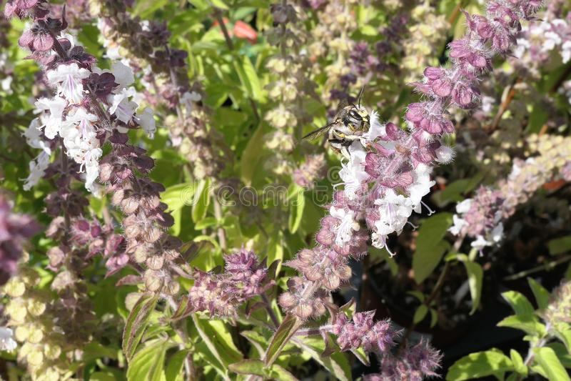 在开花的蓬蒿草本的欧洲羊毛梳刷的人蜂 狂放的孤零零b 库存图片