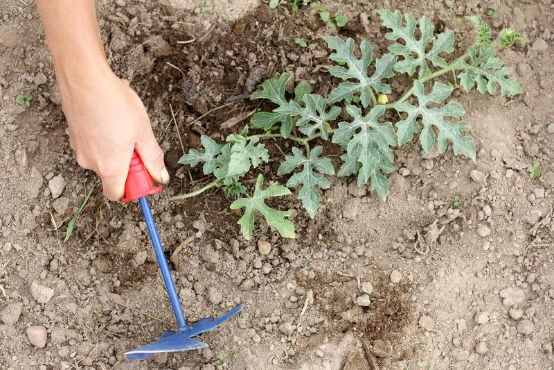 在开花的西瓜初的工作 库存照片