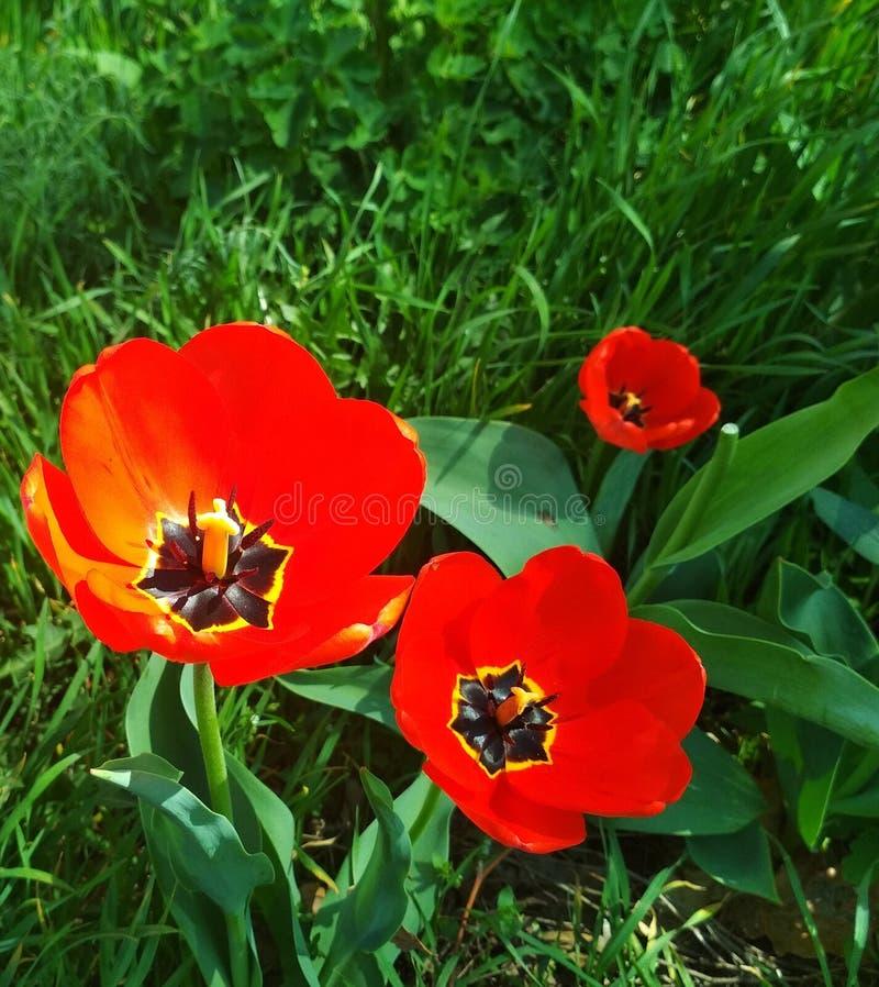 在开花的郁金香 免版税库存图片