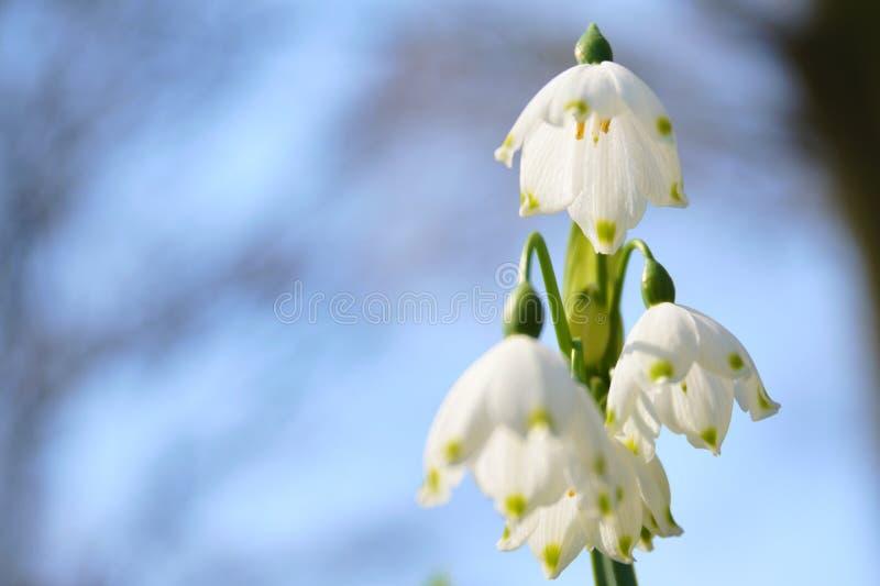 在开花的雪花花 库存照片