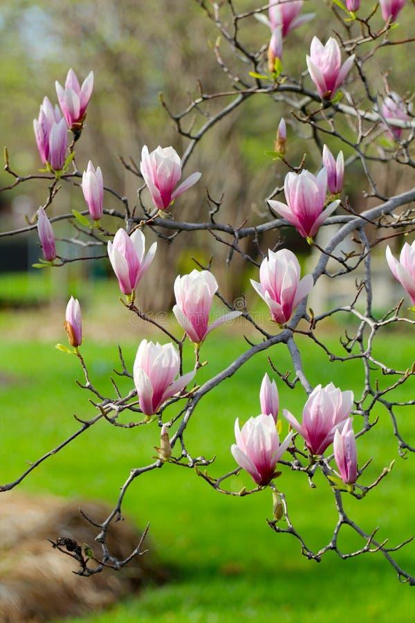 在开花的Grunged美丽的木兰树在一个植物园里 免版税库存照片