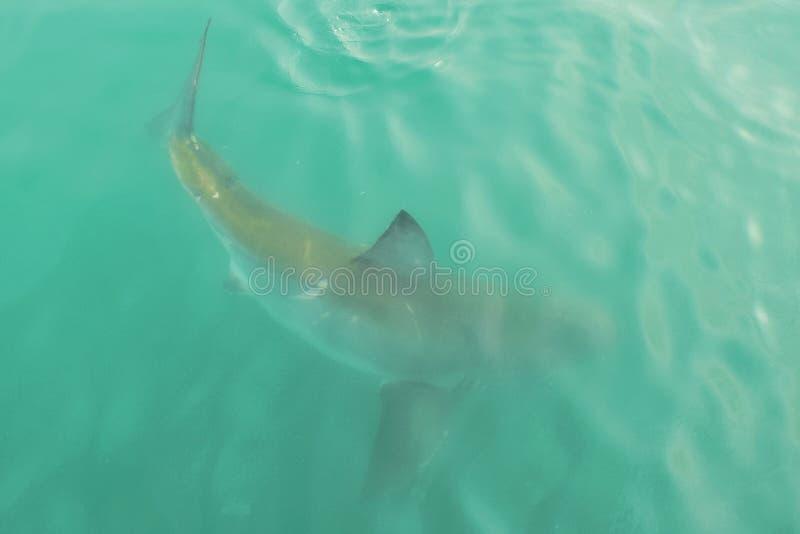 在开阔水域的大白鲨鱼,接近水表面,在Gansbaai南非 库存照片