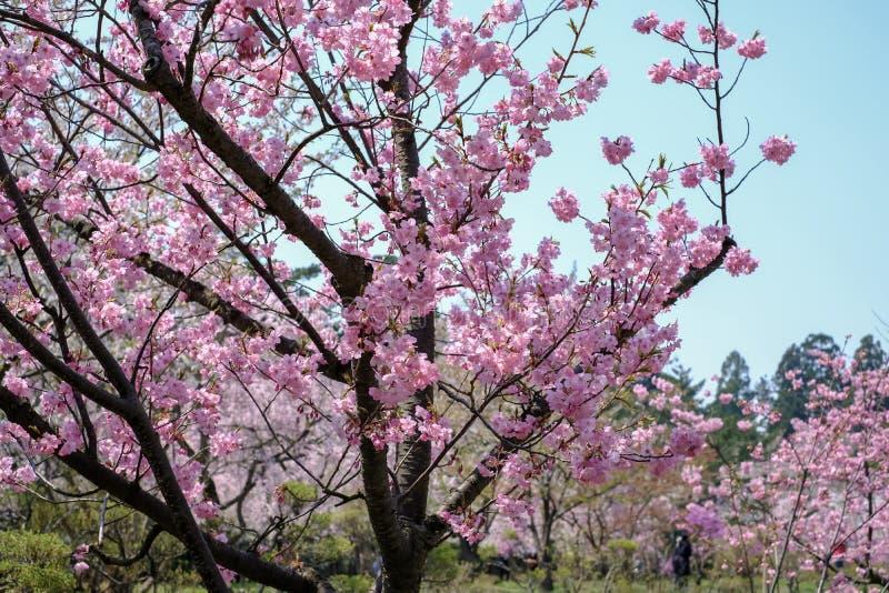 在弘前的美丽的樱花在春天停放,青森, Tohoku,日本 图库摄影