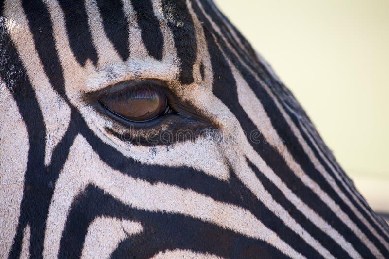 在彩色照片的斑马画象与看顶头的特写镜头  免版税图库摄影